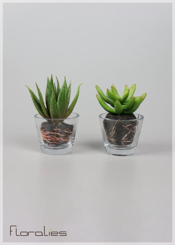 Les agaves